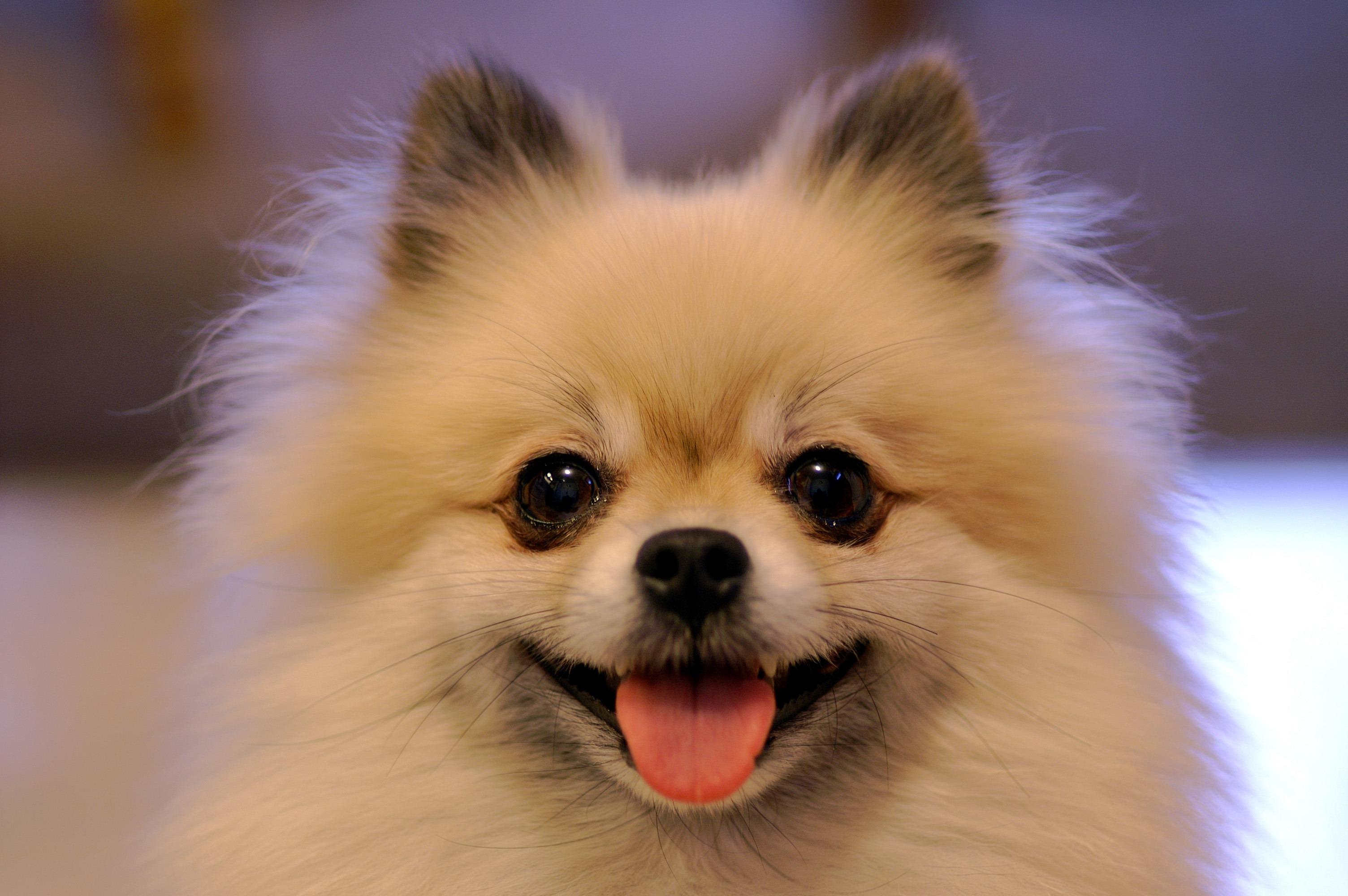 Smiling_Tan_Pomeranian.jpg