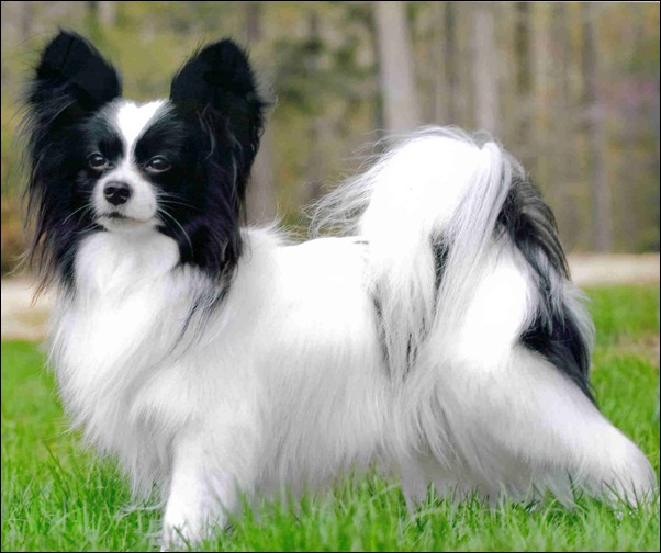 cute-papillon-puppy