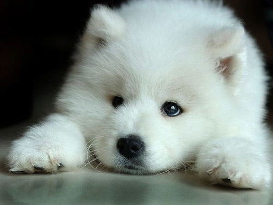 cute-samoyed-puppy.jpg